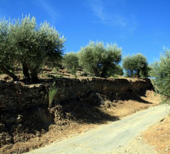 Olive Trees Douro walking tour