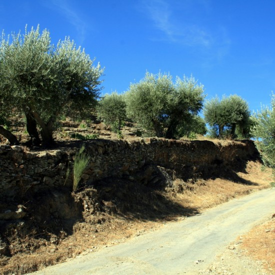 Olive Trees Douro walking tour